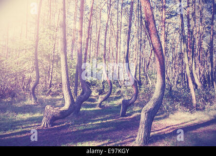 Vintage style picture of Crooked Forest, Poland. - Stock Photo