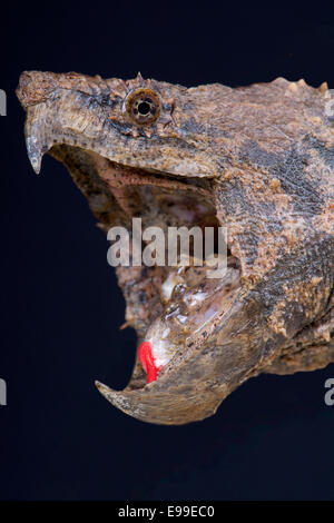 Alligator snapping turtle / Macrochelys temminckii - Stock Photo