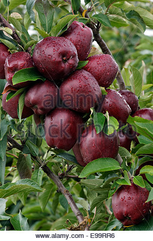 Red Delicious apples on the tree in the Orchard ready to be picked, Ludington Michigan - Stock Photo