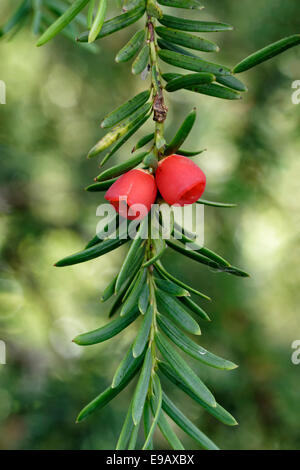 Pair of bright red berries on a Yew Tree - Stock Photo