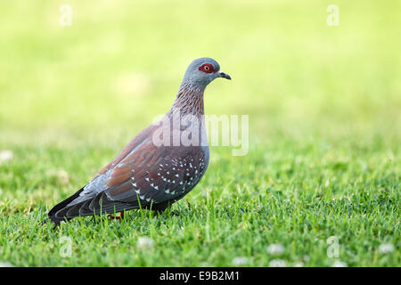 Speckled Pigeon (Columba guinea) sitting on a lawn in South Africa. - Stock Photo