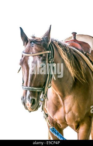 horse isolated on a white background beautiful stable - Stock Photo