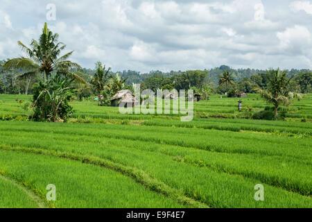 Cultivated rice paddies near Sedimen, Bali - Stock Photo