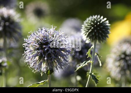 Globe thistle - echinops ritro - Stock Photo