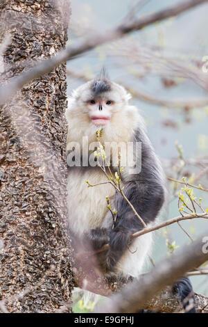 Adult male Yunnan Snub-nosed Monkey (Rhinopithecus bieti) resting a tree - Stock Photo
