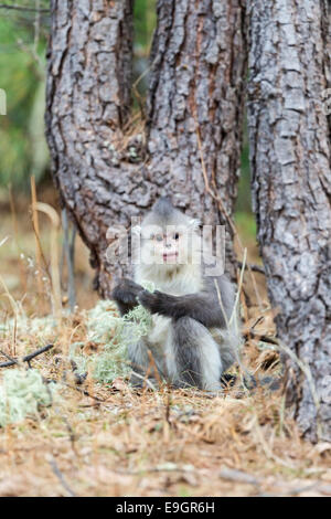 Juvenile Yunnan Snub-nosed Monkey (Rhinopithecus bieti) feeding at the base of a tree in a Himalayan forest - Stock Photo