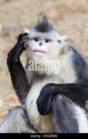Yunnan Snub-nosed Monkey (Rhinopithecus bieti) scratches its head - Stock Photo