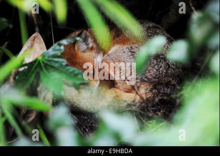 Brighton Sussex UK - Fox fast asleep living in the garden behind the Bonsai Shop in Brighton - Stock Photo