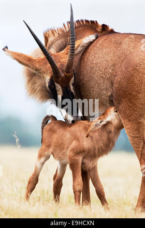 Roan, Hippotragus equinus, with baby, Mlilwane nature reserve breeding programme, Swaziland, Africa - Stock Photo