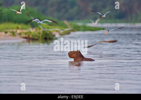 Black Skimmers (Rynchops niger) flying around a Capybara swimming across a river in Pantanal at sunset - Stock Photo