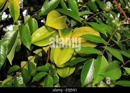 Carambola (Averrhoa Carambola, aka Starfruit) on a Tree, Corvocado, Costa Rica - Stock Photo