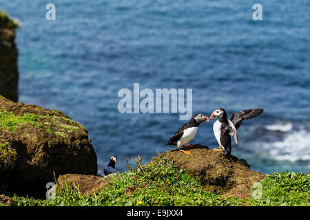 Atlantic puffin (Fratercula arctica) billing - Stock Photo