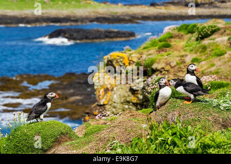 Atlantic puffin (Fratercula arctica) billing, a courtship display - Stock Photo
