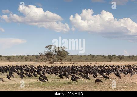 Abdim's storks, Ciconia abdimii, congregated at waterhole, Kgalagadi Transfrontier Park, South Africa - Stock Photo