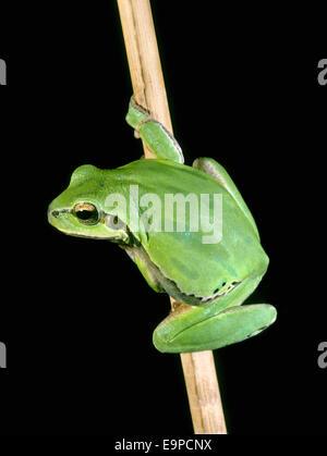 European Tree Frog - Hyla arborea - Stock Photo