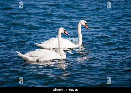Pair of mute swans on wavy water. - Stock Photo