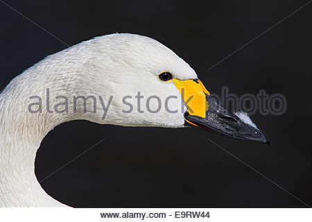Bewick's swan, Olor columbianus bewickii, beak detail, captive, UK - Stock Photo