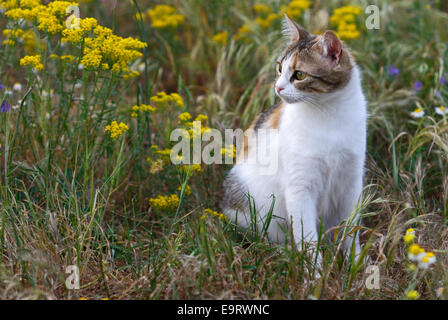 Calico cat sitting in flowering meadow - Stock Photo