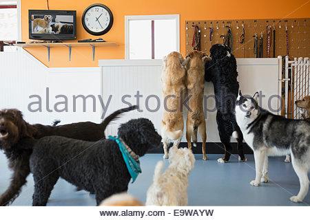 Dogs playing in dog daycare - Stock Photo