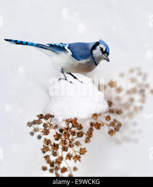 Digital Painting Of Blue Jay In Winter - Stock Photo
