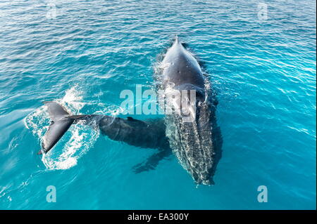 Humpback whales (Megaptera novaeangliae) mother and calf, Hervey Bay, Queensland, Australia, Pacific - Stock Photo
