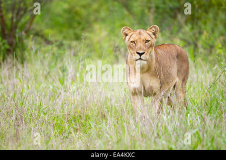 Female lion on the prowl at the serengeti plains, staring directly into the camera; Tanzania - Stock Photo