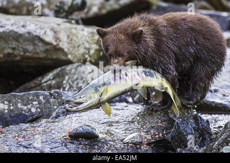 Alaska,Close,Brown Bear,Pink Salmon,Kuliak Bay - Stock Photo