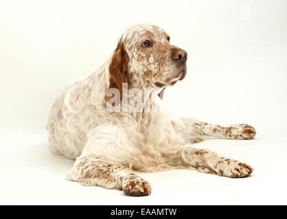 English Setter dog on white background - Stock Photo