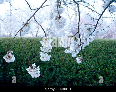 apple blossoms in spring in early morning - Stock Photo