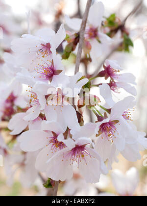 Detail of cherry blossoms on tree in spring. - Stock Photo