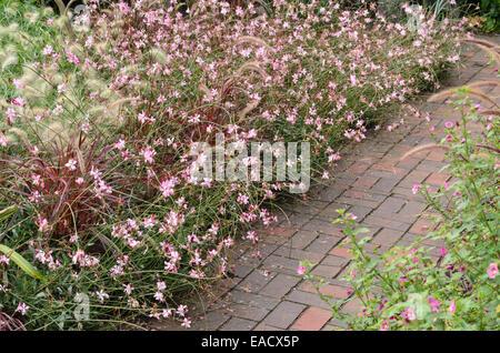 Butterfly gaura (Gaura lindheimeri 'Gambit Rose') and fountain grass (Pennisetum setaceum 'Rubrum') - Stock Photo