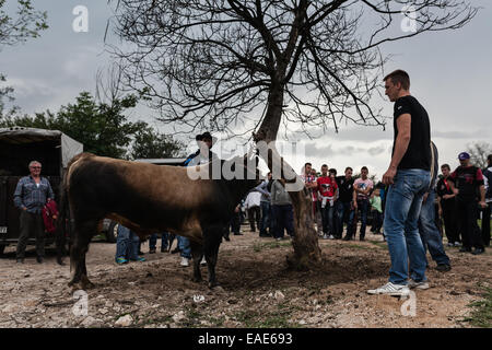 BOSNIA AND HERZEGOVINA / Vitez / People watch bull before bullfight in central Bosnian town of Vitez. - Stock Photo