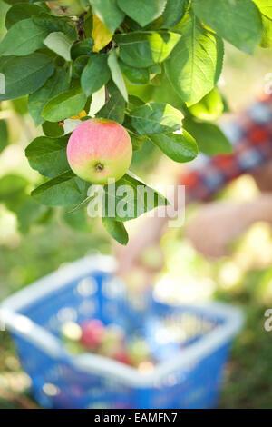Fresh apples in a garden - Stock Photo