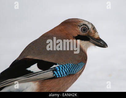Eurasian Jay Garrulus glandarius standing in snow - Stock Photo