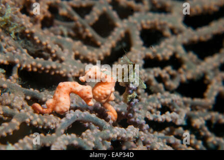 Pygmy seahorse - Hippocampus bargibanti -Moalboal - Cebu - Philippines - Stock Photo
