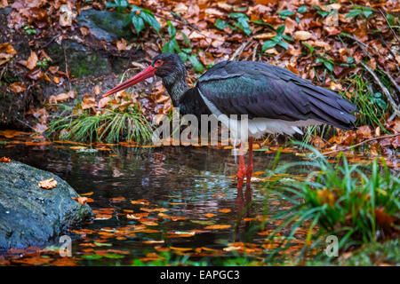 Black stork (Ciconia nigra) foraging in pond in autumn forest - Stock Photo