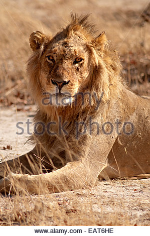 A lion at the Moremi Game Reserve in Botswana, Africa. - Stock Photo