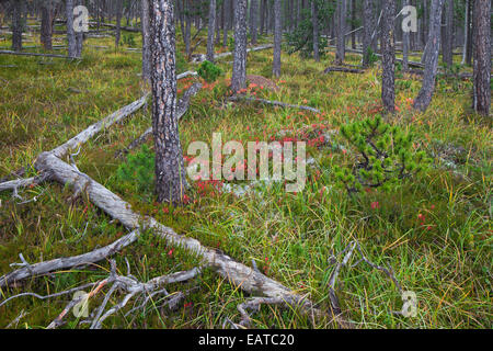 Scots Pine (Pinus silvestris) trees in coniferous forest with fallen tree trunks - Stock Photo