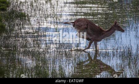 fallow-deer crossing a river - Stock Photo