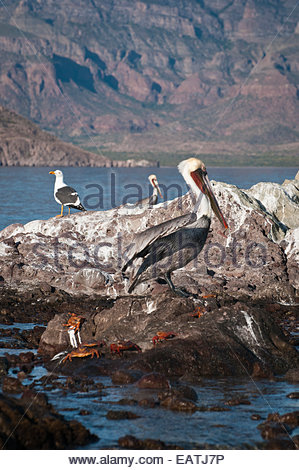 Brown pelicans, yellow-footed gull, and Sally Lightfoot crabs on rocks. - Stock Photo
