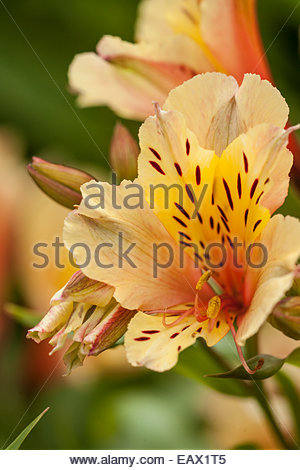 Peruvian lilly or lily of the incas ' Alstroemeria' growing in the in a garden in Northern California. - Stock Photo