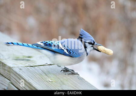 A blue jay perched on a wooden rail with a peanut in its beak. - Stock Photo