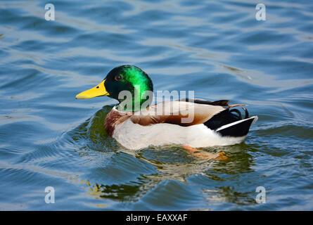 Mallard, male swimming - Stock Photo