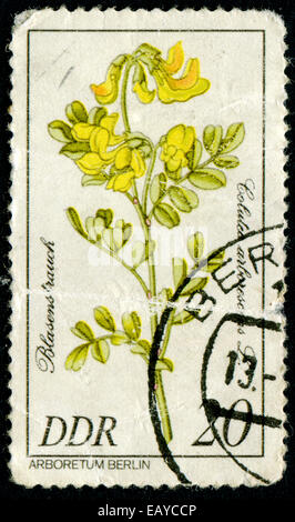 GDR - CIRCA 1981: A stamp printed in GDR shows image of a Flowerses with the inscription 'Golutea arlorescens L' - Stock Photo