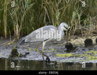 Grey Heron - Ardea cinerea - Stock Photo