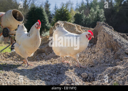 White Sussex cross free range hens on a building site. - Stock Photo