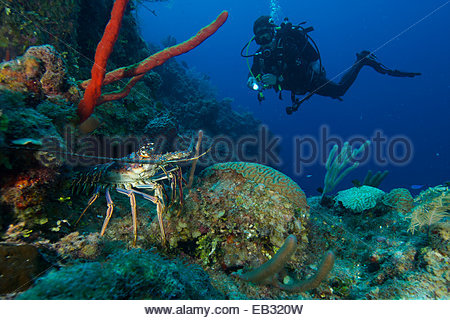 A scuba diver spots a Caribbean spiny lobster (Panulirus argus) on the reef off Glovers Atoll in Belize. Marine - Stock Photo