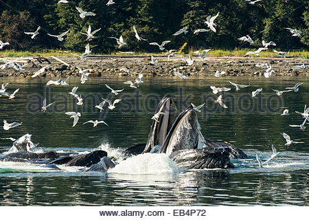 A group of humpback whales (Megaptera novaeangliae) collaboratively feeding on small fish in the waters of Alaska���s - Stock Photo