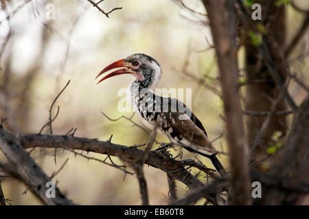 Red-billed Hornbill (Tockus erythrorhynchus) - Mushara Outpost - near Etosha National Park, Namibia, Africa - Stock Photo