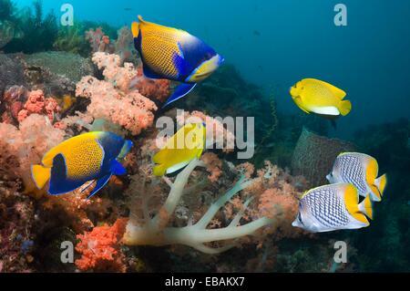 Blue-girdled angelfish Pomacanthus navarchus, Three-spot angelfish Apolemichthys trimaculatus and Yellowtail butterflyfish - Stock Photo